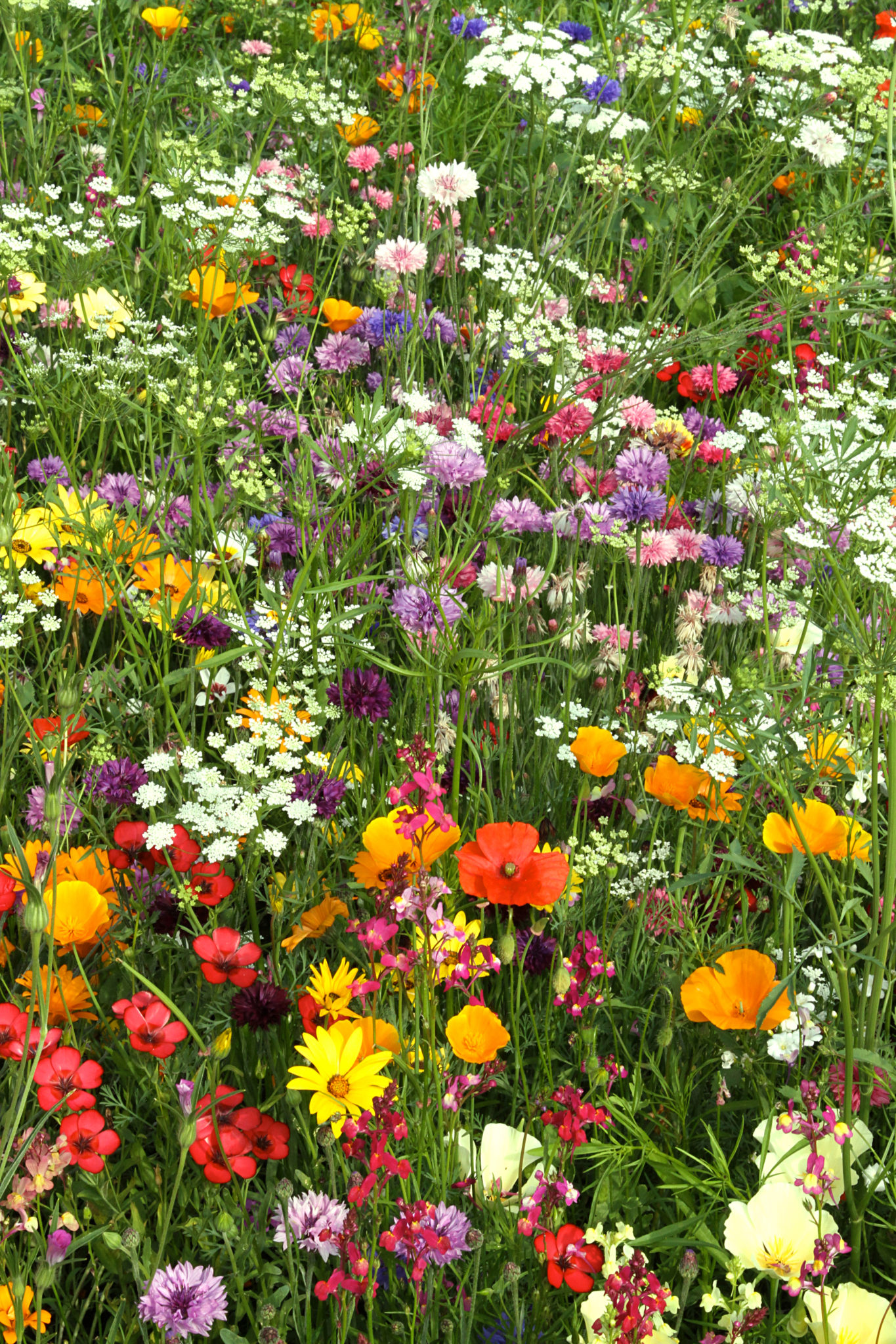 Candy Annual Meadow Mix